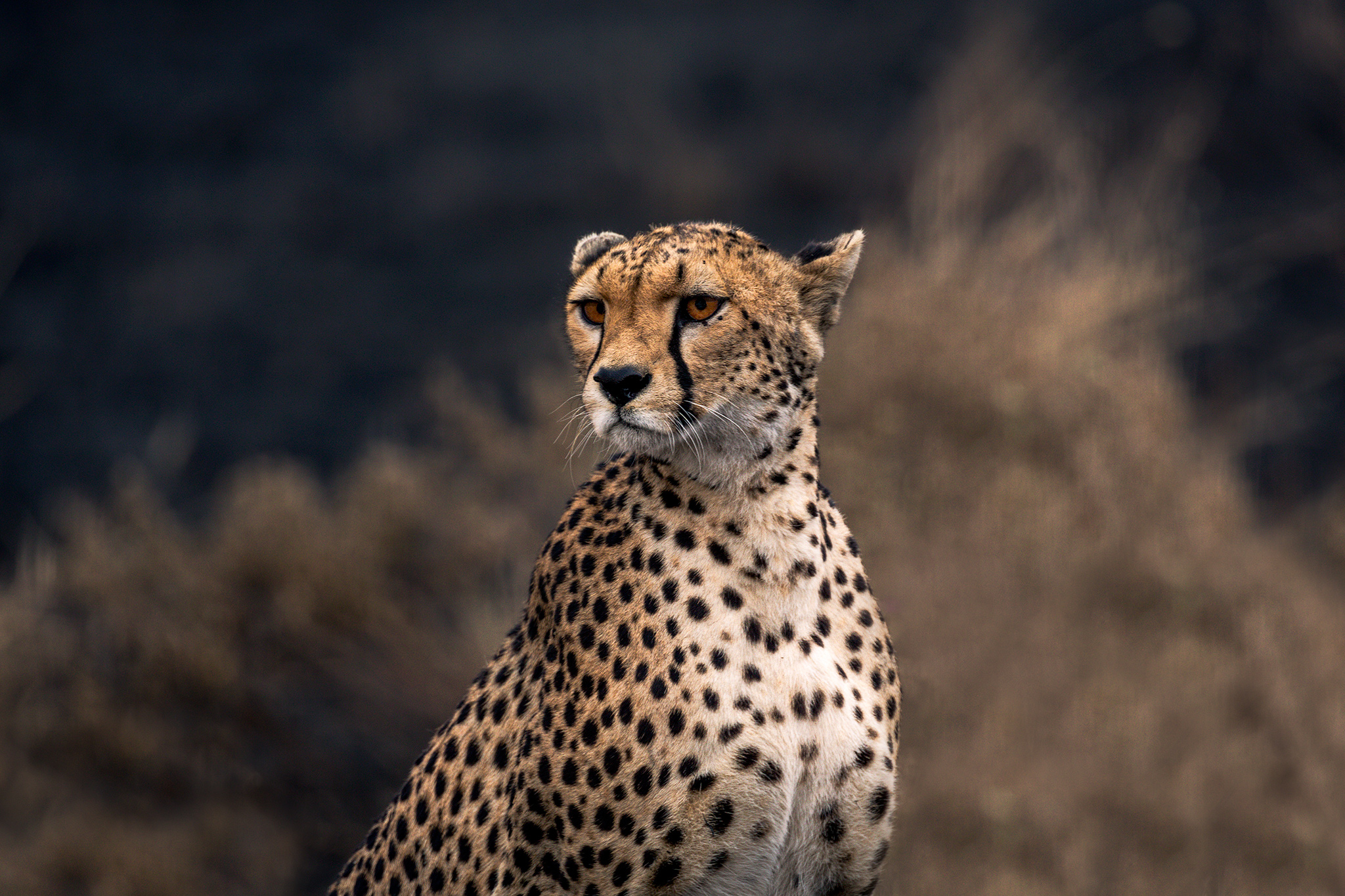 CheetahProfile_FBed.jpg