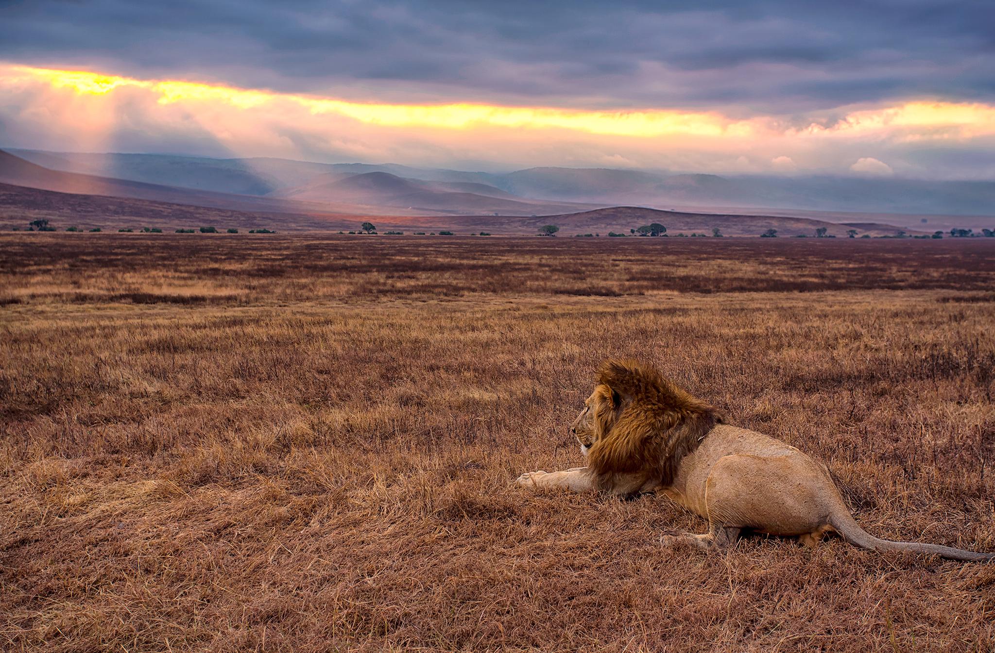 NgorongoroLion_FBed.jpg