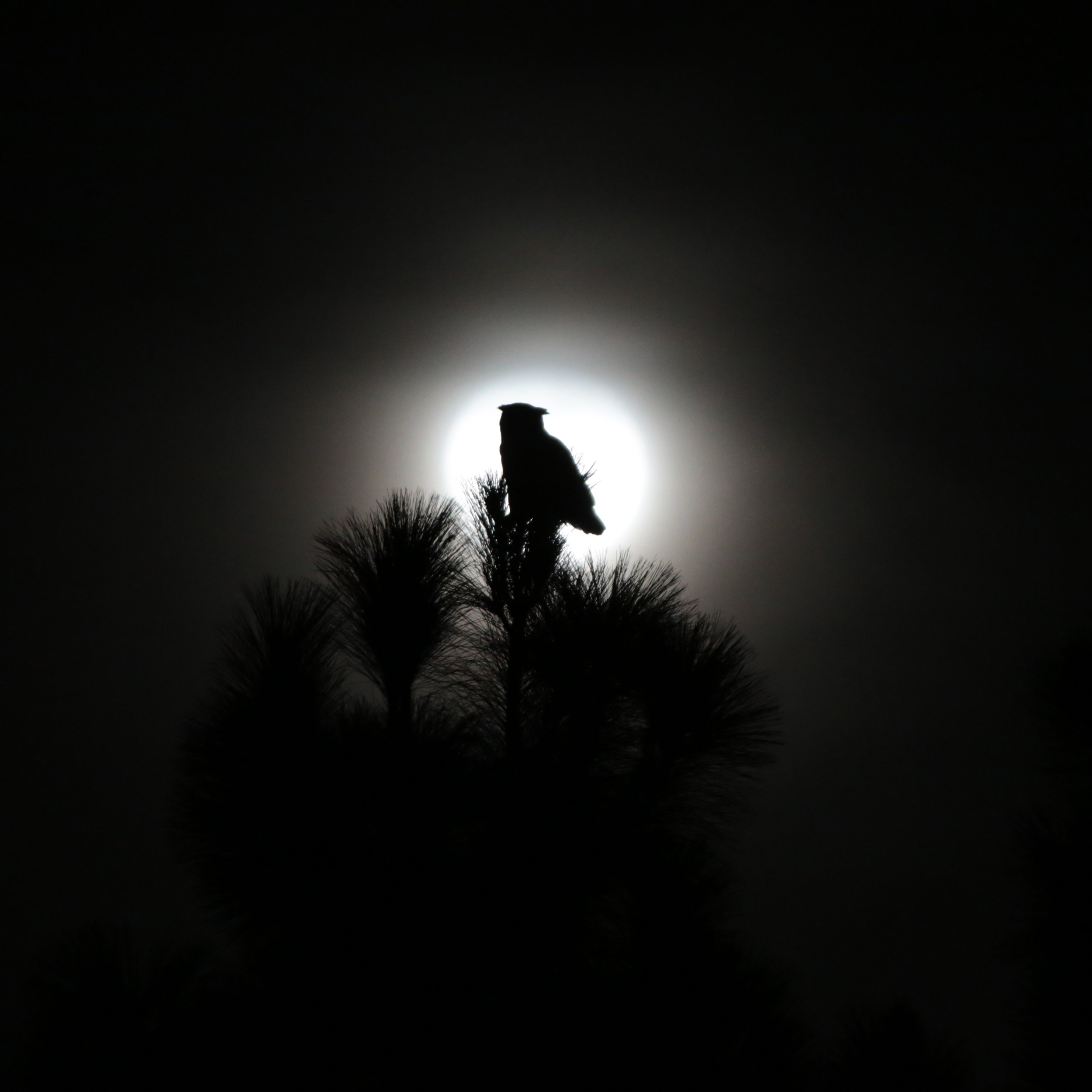 Great Horned Owl with Winter Moon II.  2018. Digital photograph.