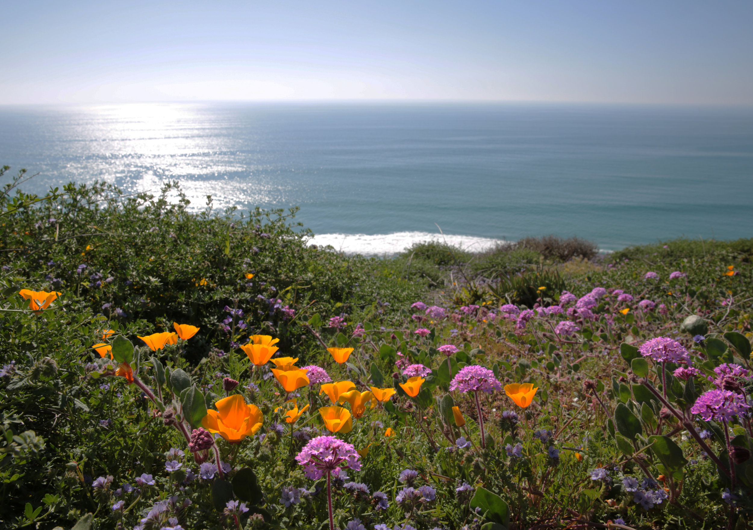 California poppies (Eschscholzia californica), beach sand verbena (Abronia umbellata) and common phacelia (Phacelia distans) overlook the Pacific Ocean at Torrey Pines State Natural Reserve in La Jolla.