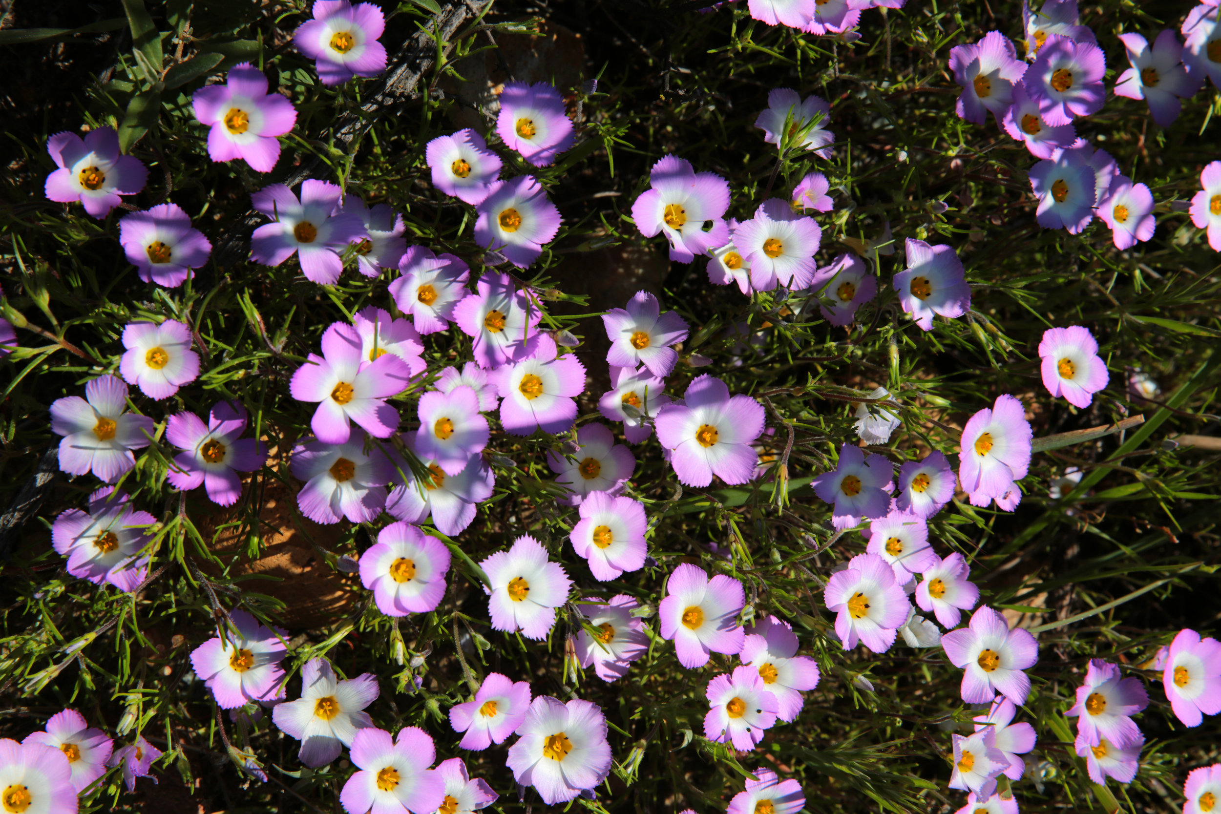 Ground pink (Linanthus dianthiflorus) growing in Los Peñasquitos Canyon Preserve in San Diego.