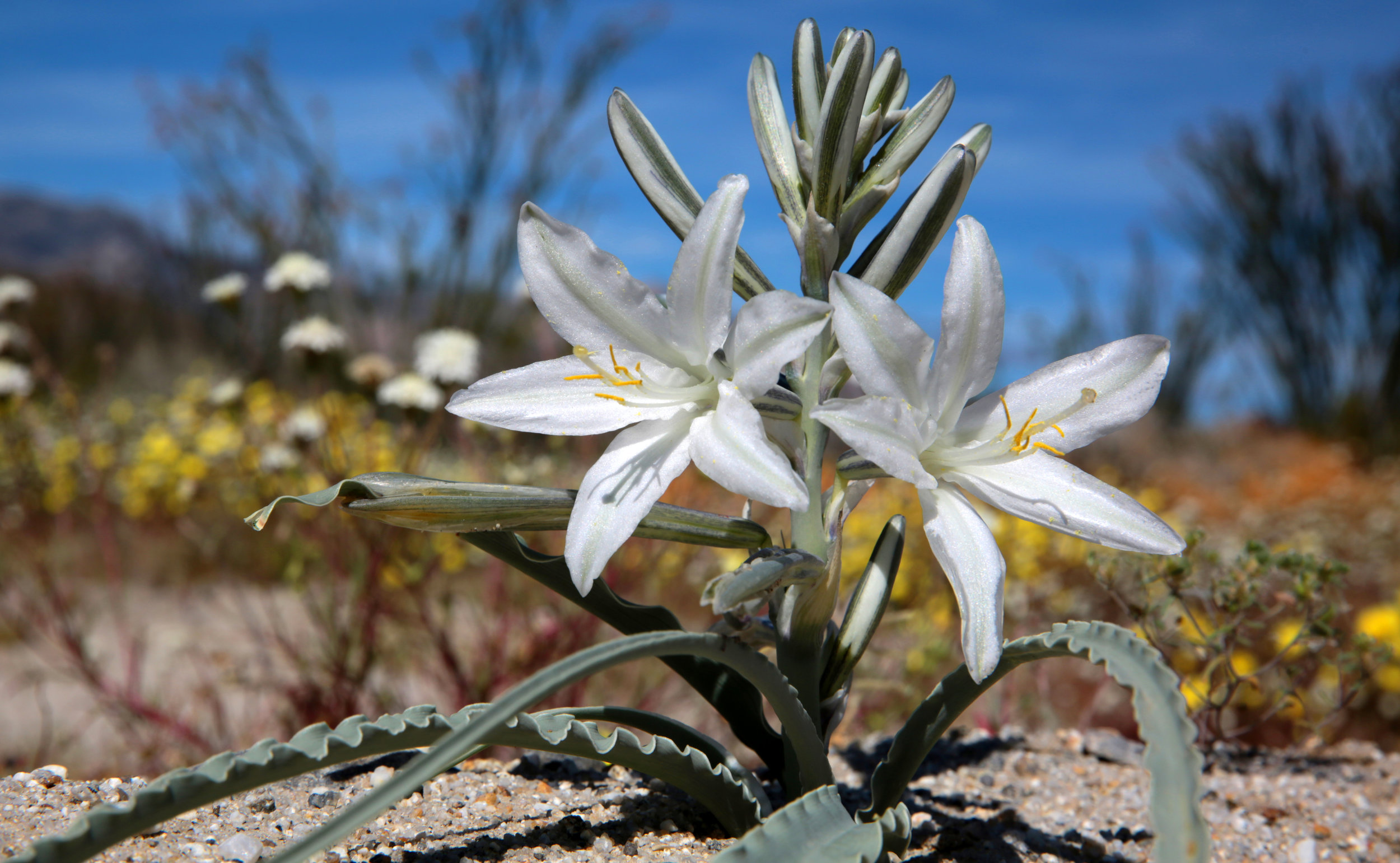 Desert or Ajo lily (Hesperocallis undulata) is both beautiful and wonderfully fragrant. I spotted this one growing in the Coyote Canyon area of Anza-Borrego Desert State Park in Borrego Springs.