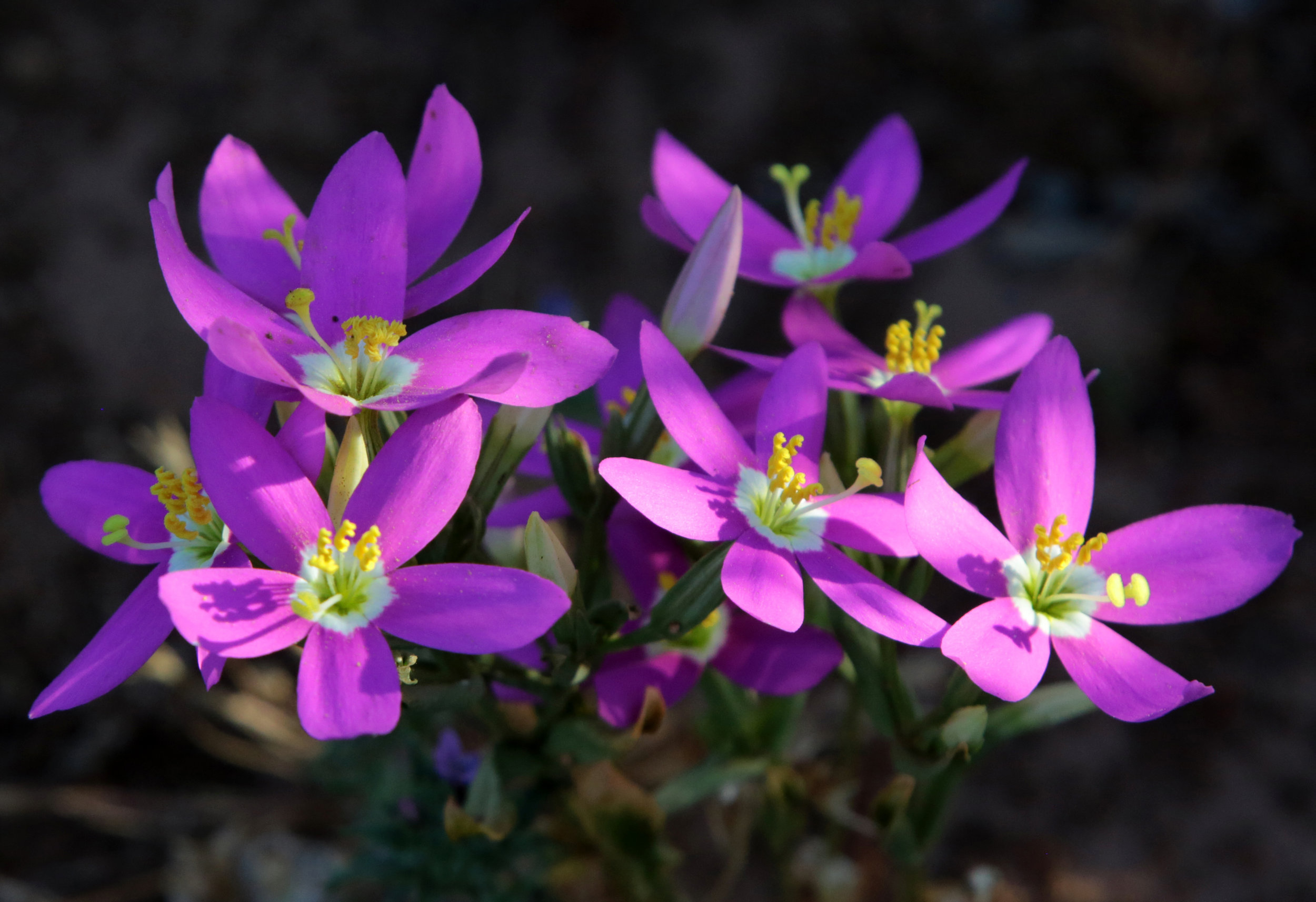 California centaury (Zeltnera venusta) glow in the setting sun on Del Mar Mesa Preserve near my studio.