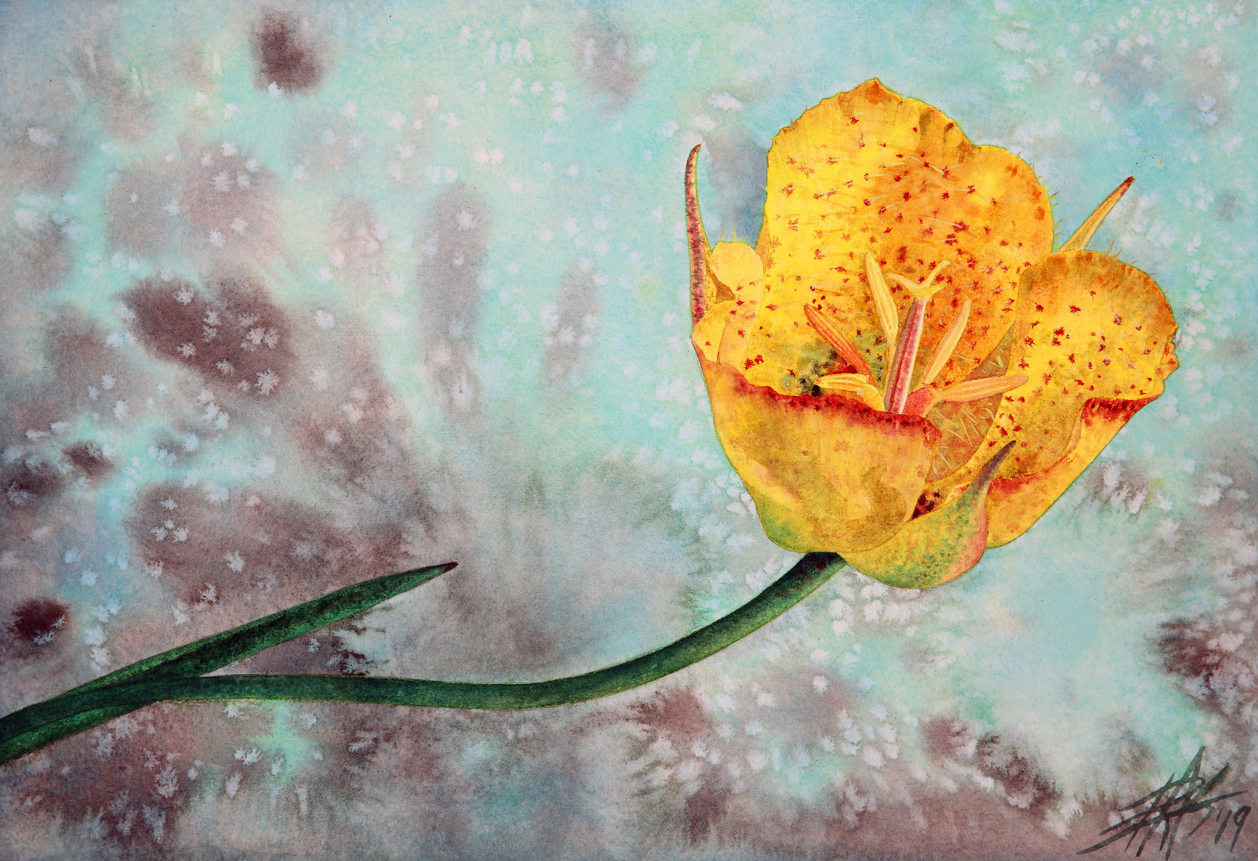 "Weed's Mariposa Lily (Calochortus weedii) . 2019. Transparent watercolor and powdered soft pastel on 300lb hot press paper. 13"" x 19"" (33 x 48cm)."
