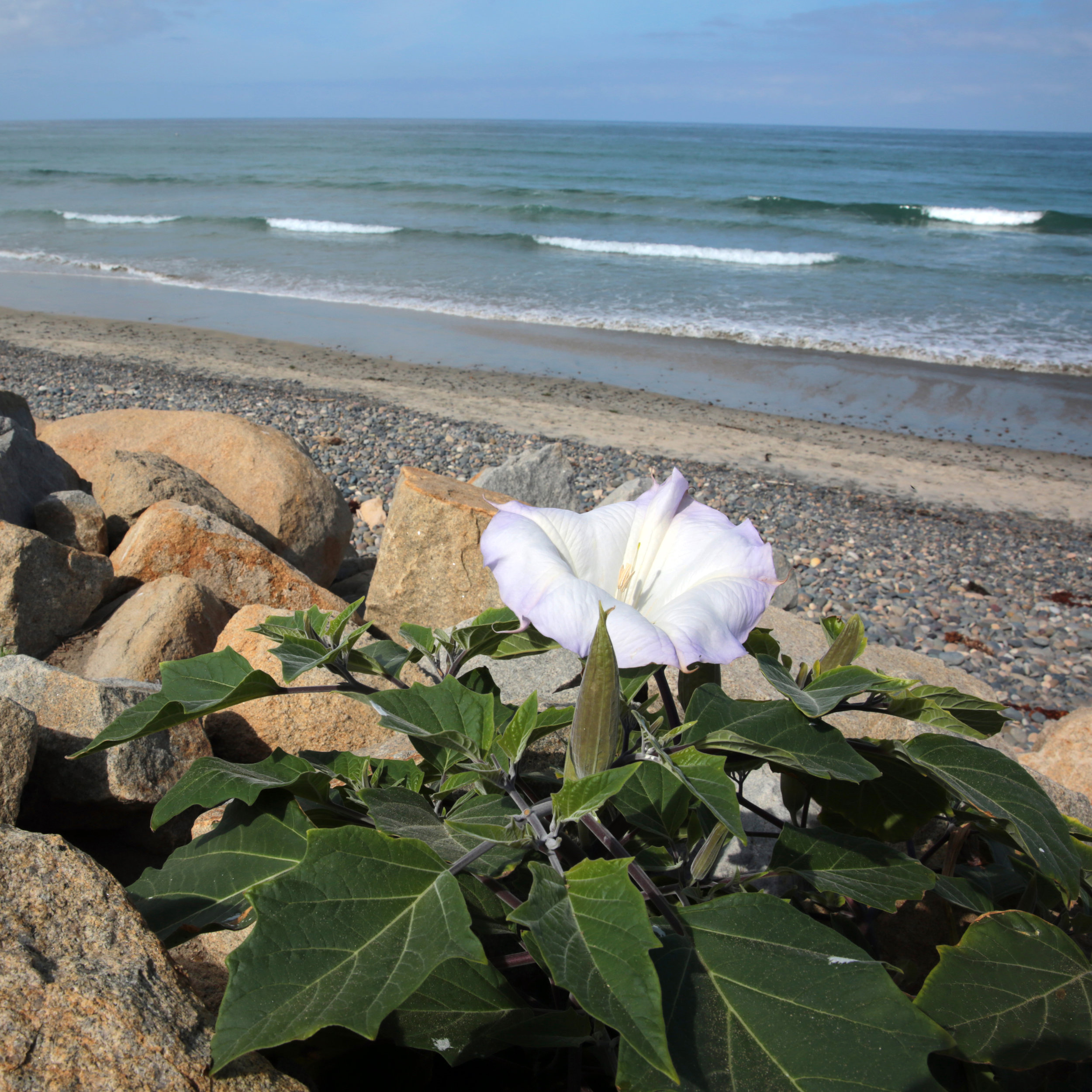 The citrusy fragrance of Sacred Datura (Datura wrightii) blends with the scent of ocean air at Torrey Pines State Beach just after dawn.