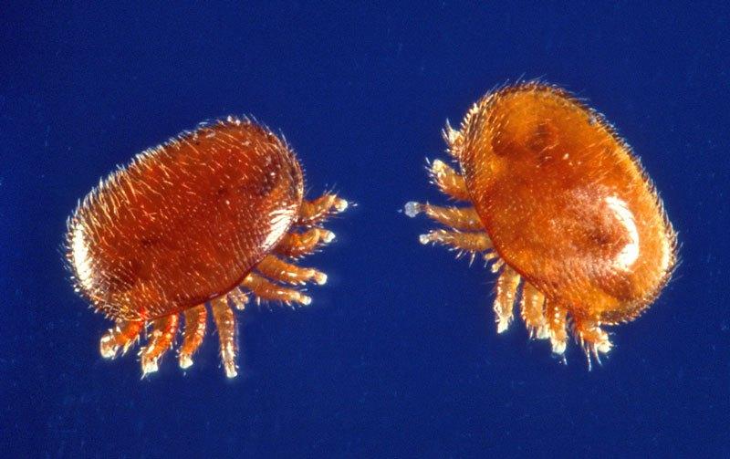Varroa mites, kind of look like little jellyfish!  Source