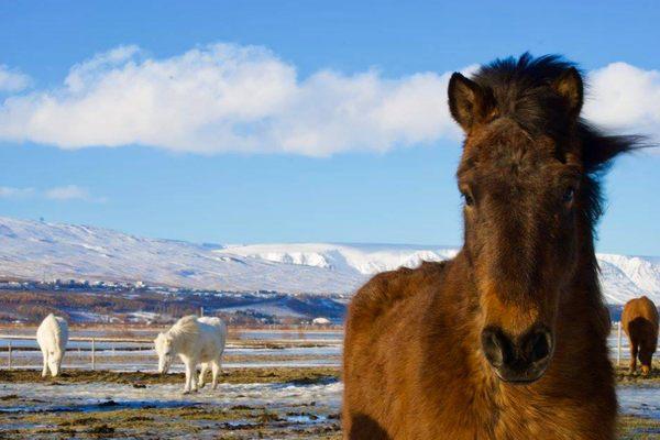 Iceland-horses.jpg