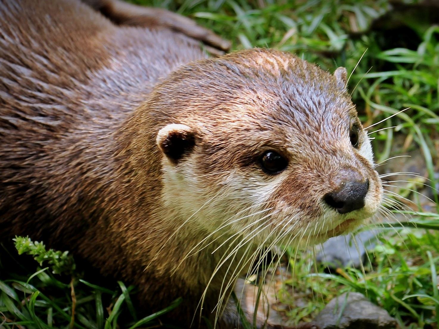 Otters -