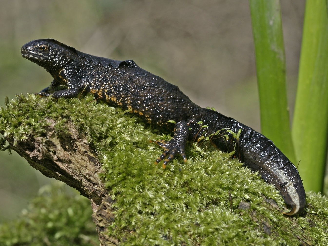 Great Crested Newts (GCN) -