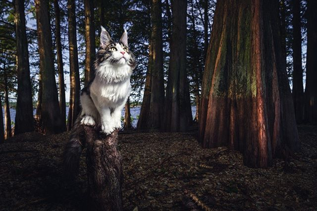 STAND UNSHAKEN —  The kitten's pose couldn't have been more perfect for this location - this young cypress root he is standing on - with him being a young kitten in the series. When you're growing up, you face so many challenges in life that you have to deal with — challenges that can shake you and throw you to the ground; many of those being challenges you don't quite understand yet, and you're trying to figure out still how to remain strong through them. So with him being still a kitten, adopting this powerful stance and peaceful, almost meditative expression, next to these giant trees (that could represent adults or adulthood)...this showcases the courage of every child, teenager, or young adult, going through life's many stages to whichever journey they choose to take. For us, it is one of the most powerful images of the series. It is incredible how he looks like he is trying to imitate the trees around him. As far as the actual location — we traveled by boat to this island, in order to take this photo. This island has some of the most unique and colorful cypress trees we've seen, and it creates such a mythical atmosphere to be there. You can see many fish bones in the actual picture, spread all over — these we found there as well — and they can imply a nest area for the kitten; his safe haven growing up.  1/100 Limited Edition Print by Gentle Giants of The Wild | Maine Coons Back in Nature  Printed on Photo Rag® Baryta paper by Hahnemühle.  Shot on Leica S Typ 007 medium format digital.  Photographers: @christina.leebrowning  Maine Coons: MetatronEyes Talos