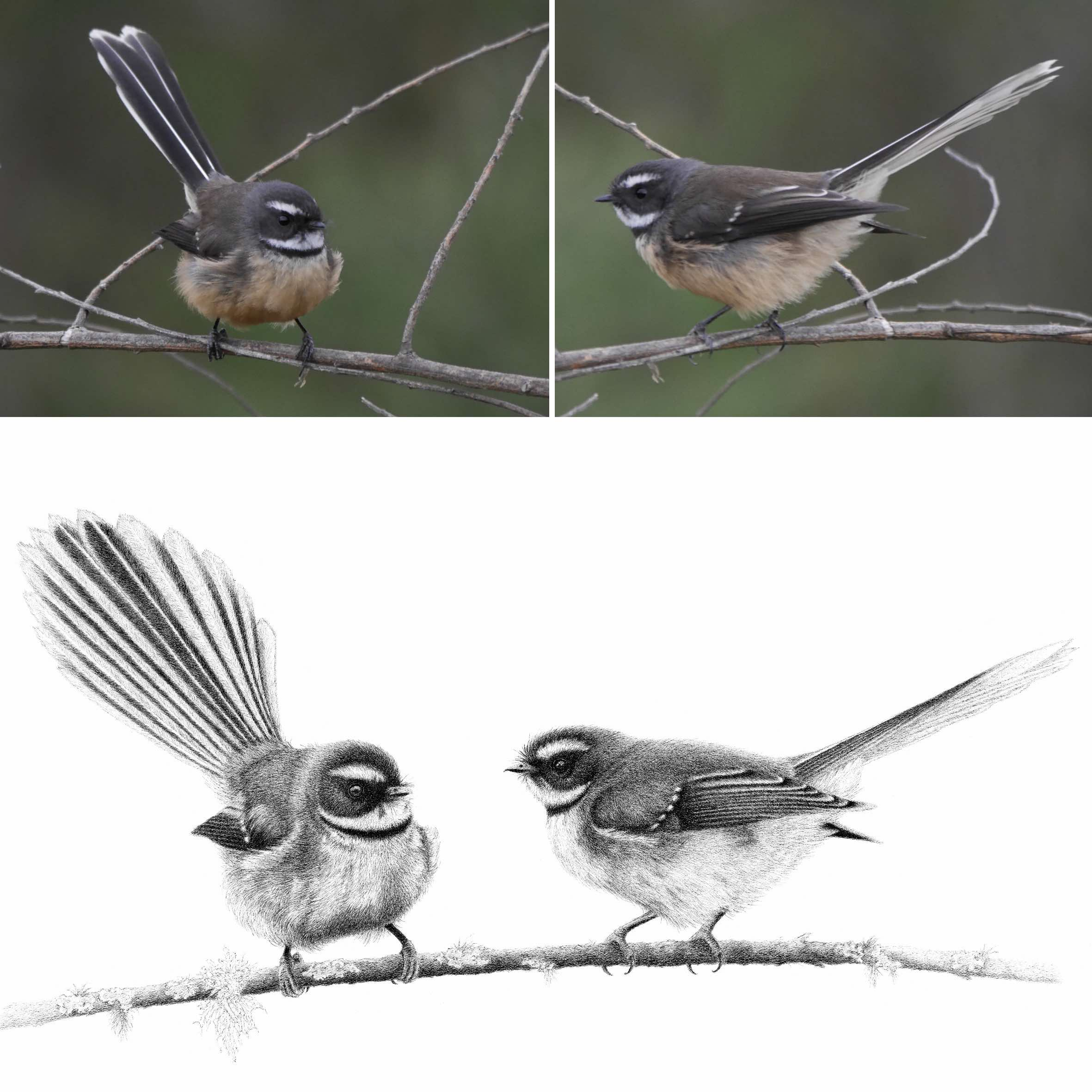 Fantail photos and artwork.jpg