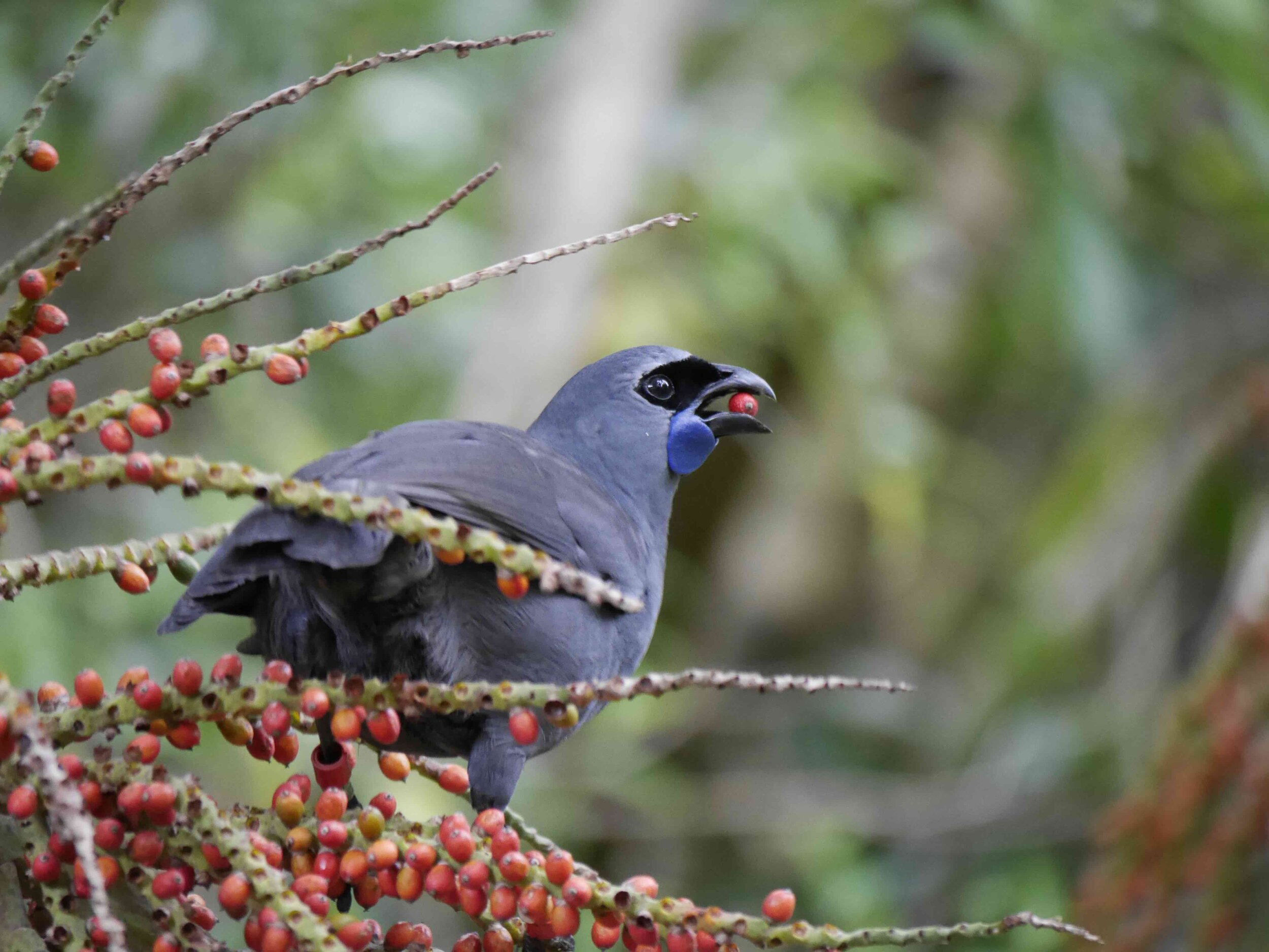 Kokako eating Nikau berries.jpg