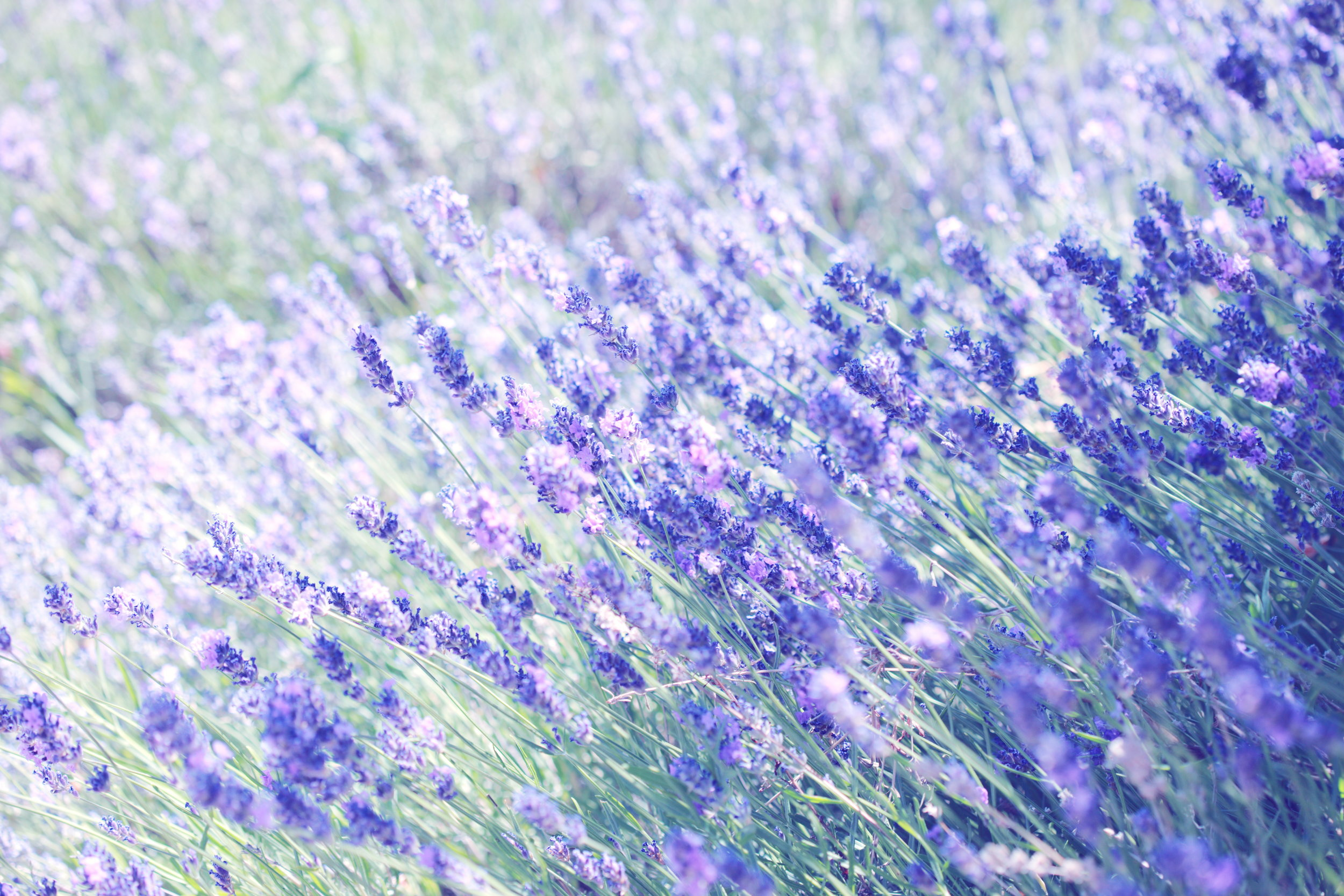 The Lavender Project - Coming soon. . . The lavender project is an opportunity to engage with others interested in making the world a better place through sharing and giving of oneself offering kindness to others.