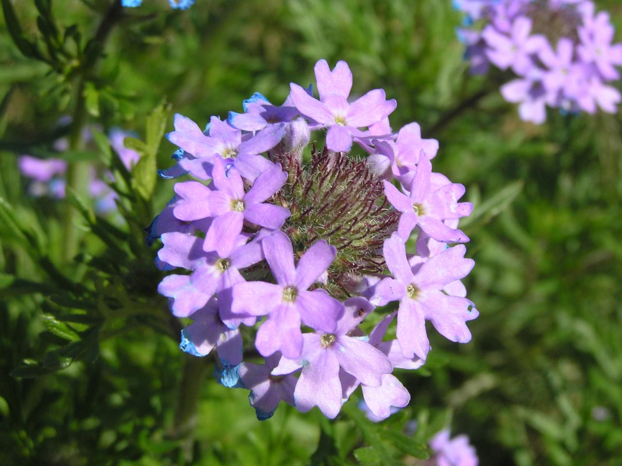 Gooding's Vernena (Glandularia goodingii)