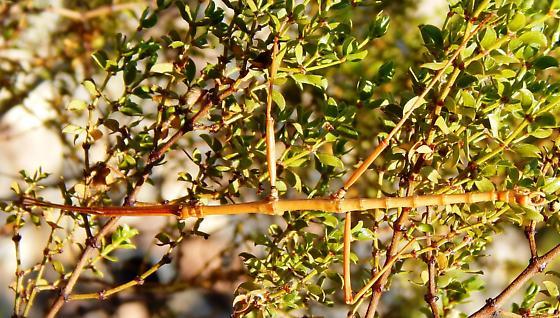 That's not a stem! That's  Diapheromera covilleae