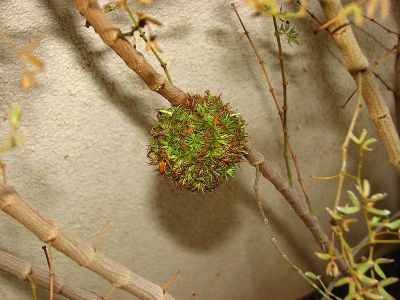 Midge gall on creosote bush
