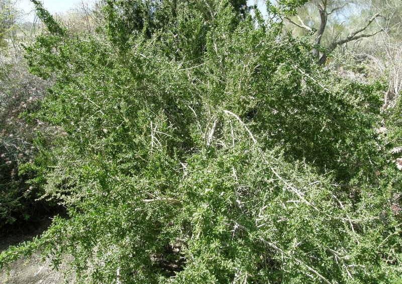 Lycium species shrub.jpg