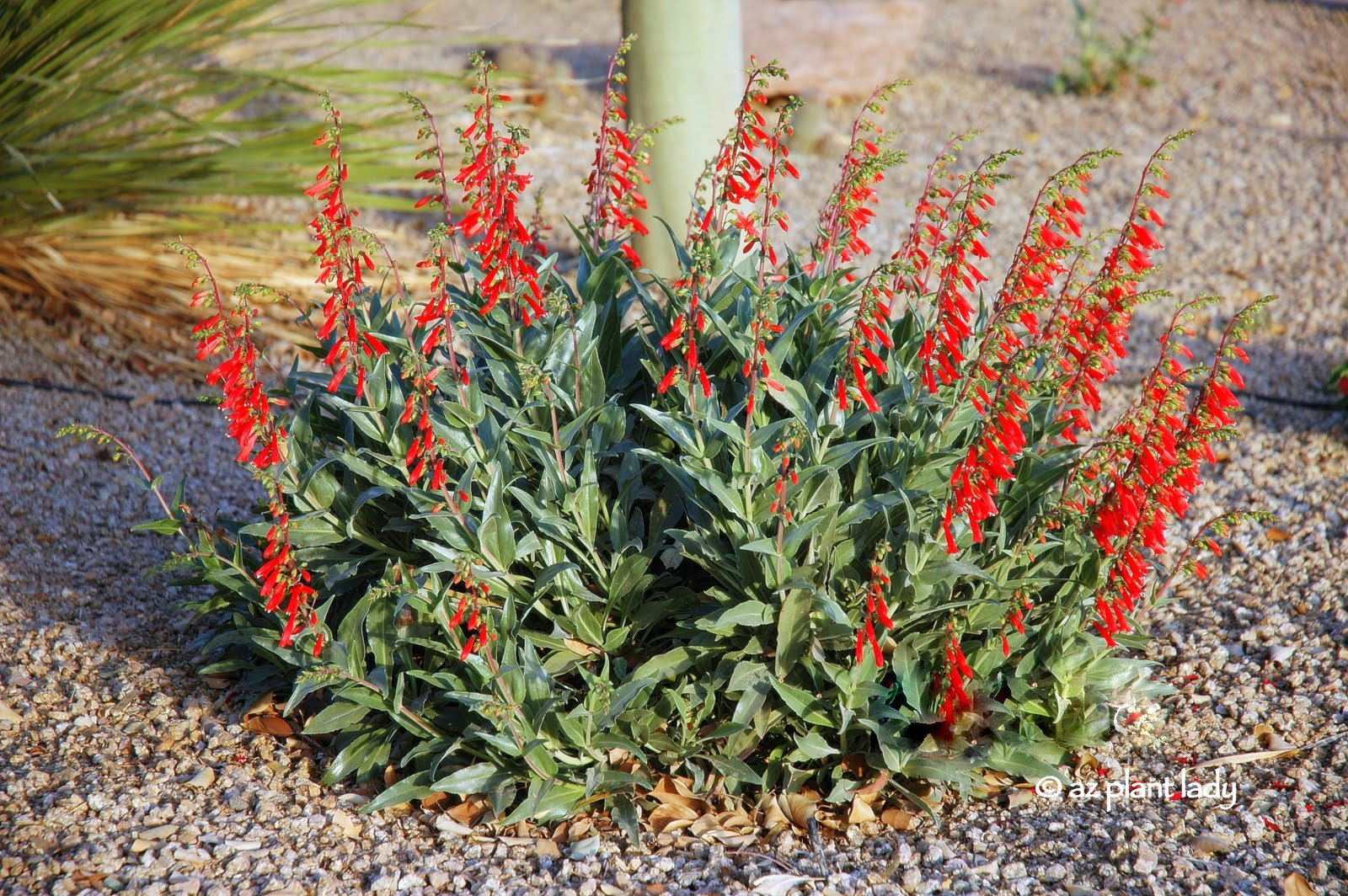 firecracker_Penstemon_eatonii Feb 18, 2006, 5-32 PM.jpg
