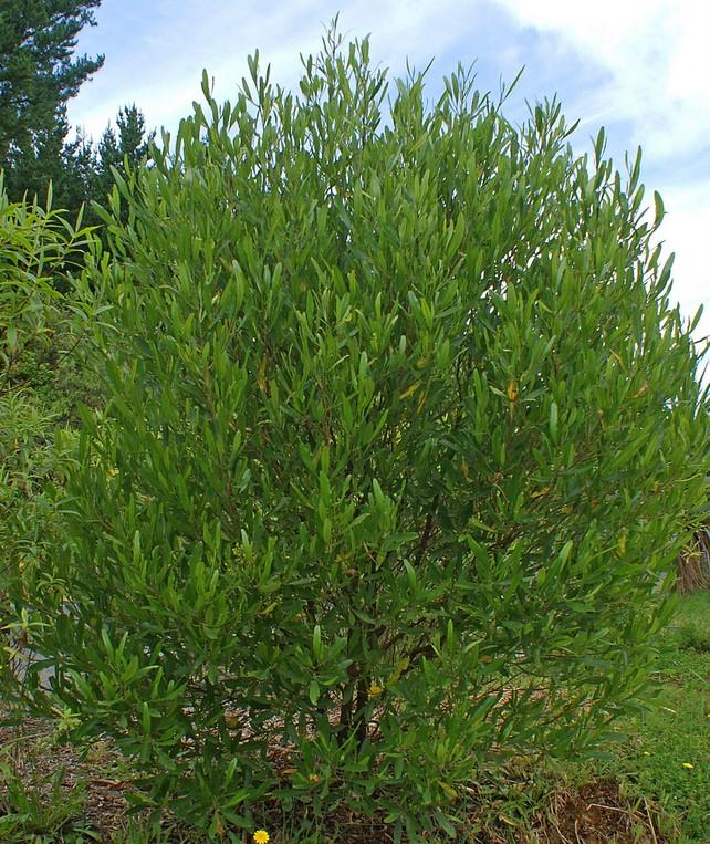 Dodonaea-viscosa-Ake-Ake-Hopbush.jpg
