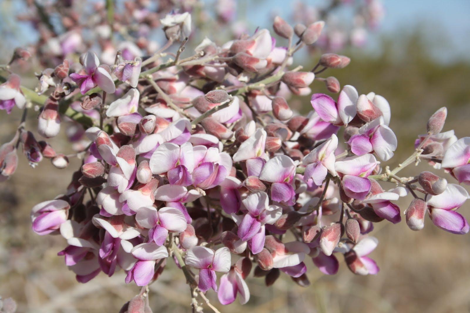 ironwood flower1.JPG