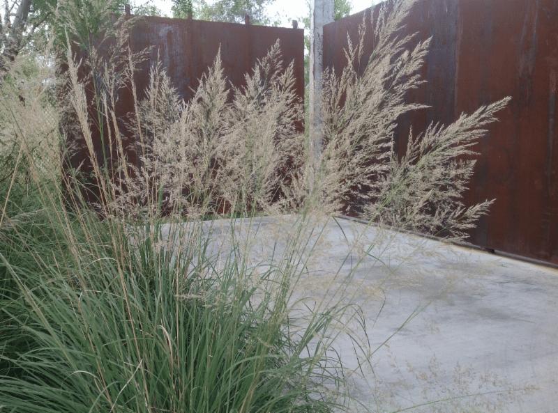 muhlenbergia-emersleyi-1.png