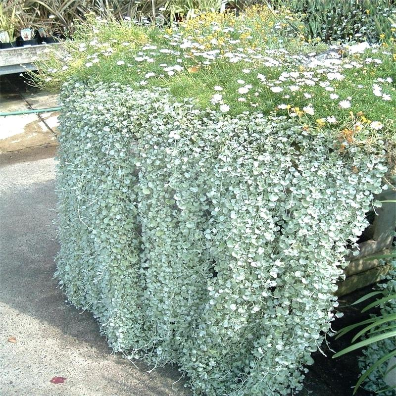 dichondra-plant-silver-falls-emerald-falls-ground-cover-seeds-in-hanging-baskets-very-creative-beautiful-potted-plants-in-bonsai-from-home-garden-on-plant-dichondra-silver-falls.jpg
