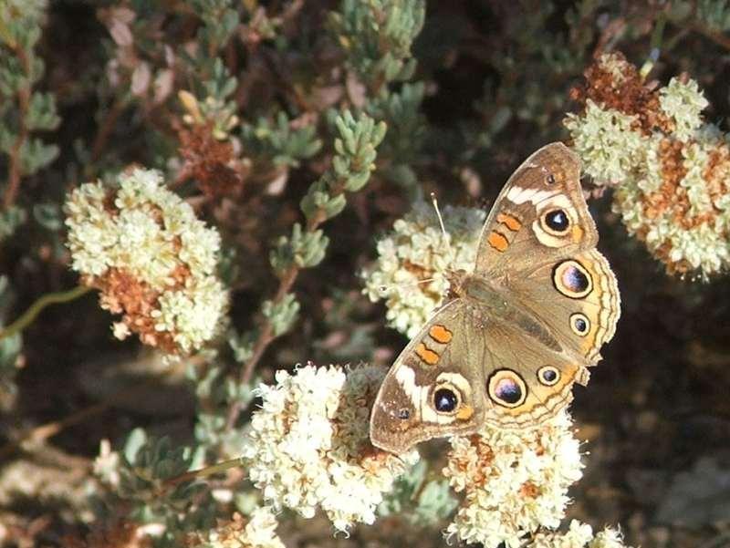 Eriogonum_fasciculatum_polifolium-1.jpg