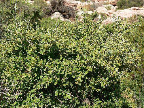 Ziziphus_obtusifolia_image55.jpg