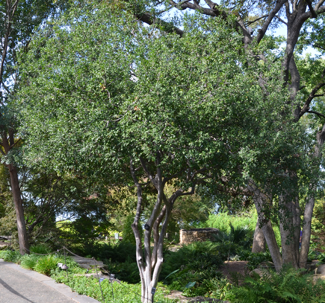- Diospyros texanatexas persimmons