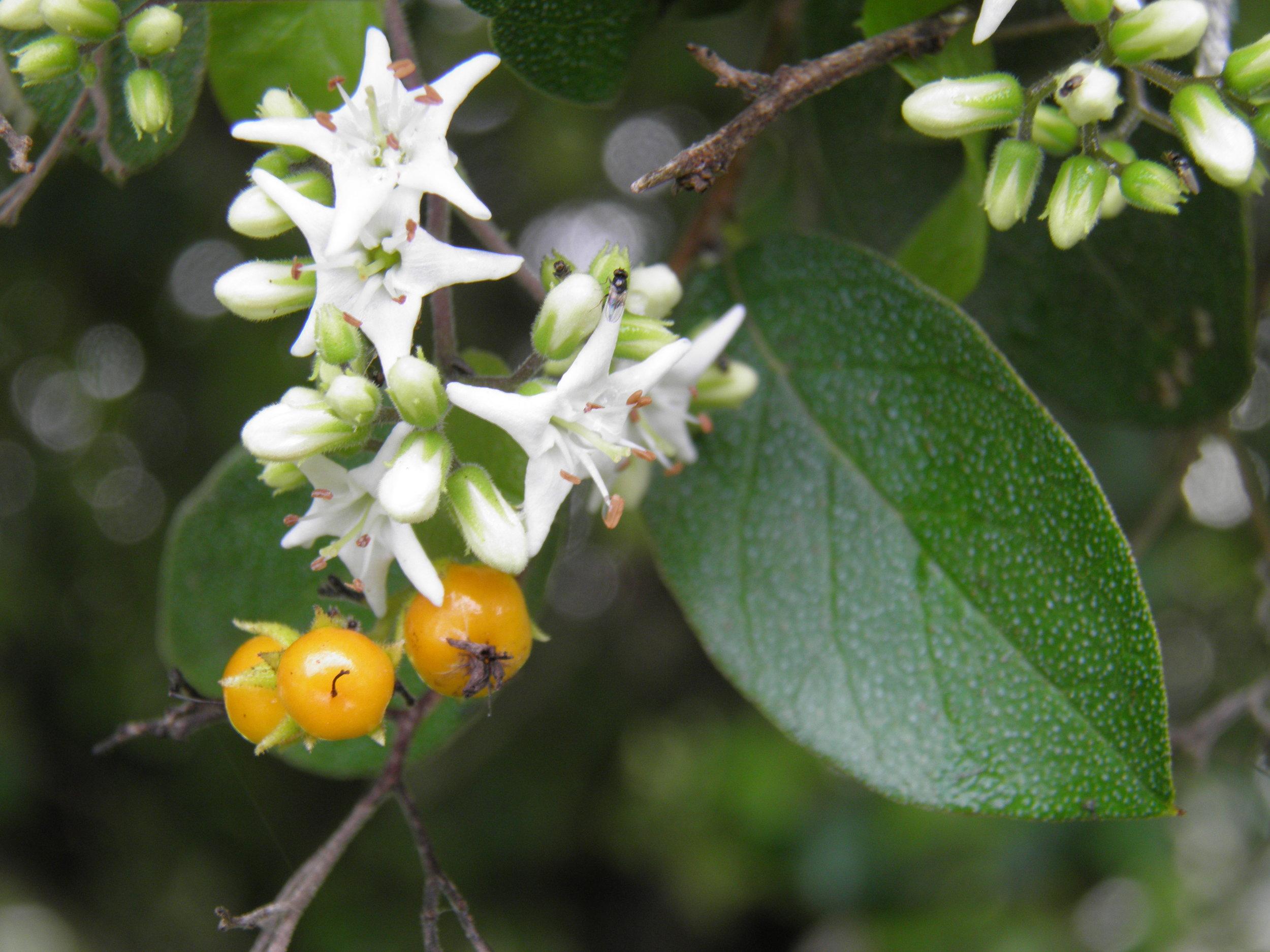 - Ehretia anacuasandpaper tree