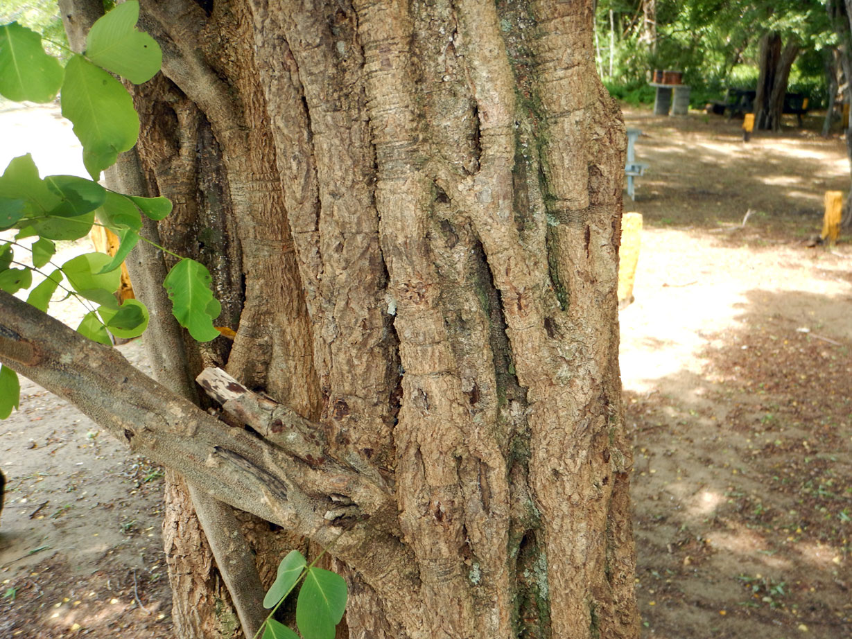 - Haematoxylum brasilettoMexican logwood