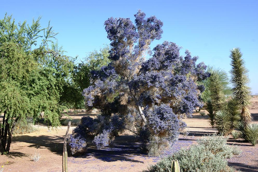 - Psorothamnus spinosusDesert Smoke Tree