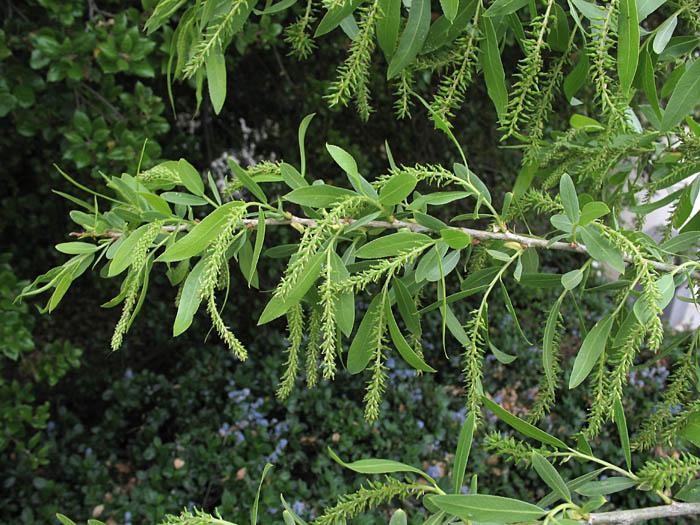 - Salix gooddingiiGoodding's Black WIllow
