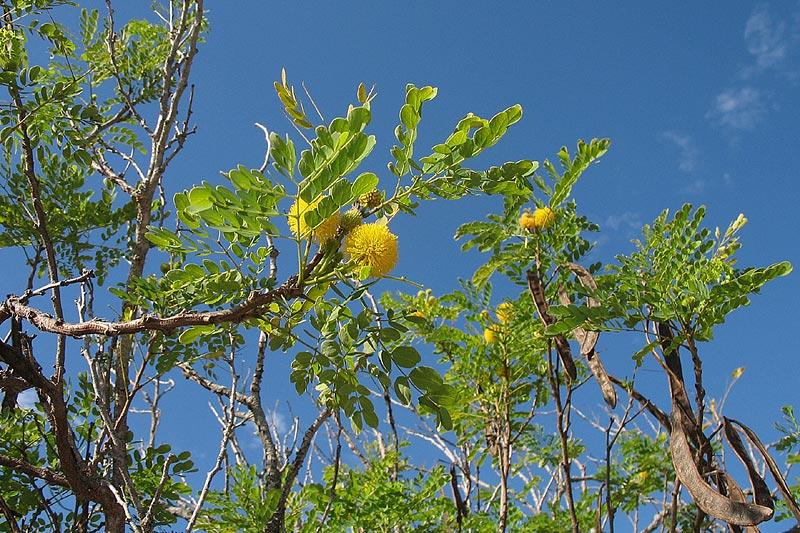 - Leucaena retusaGolden Leadball Tree