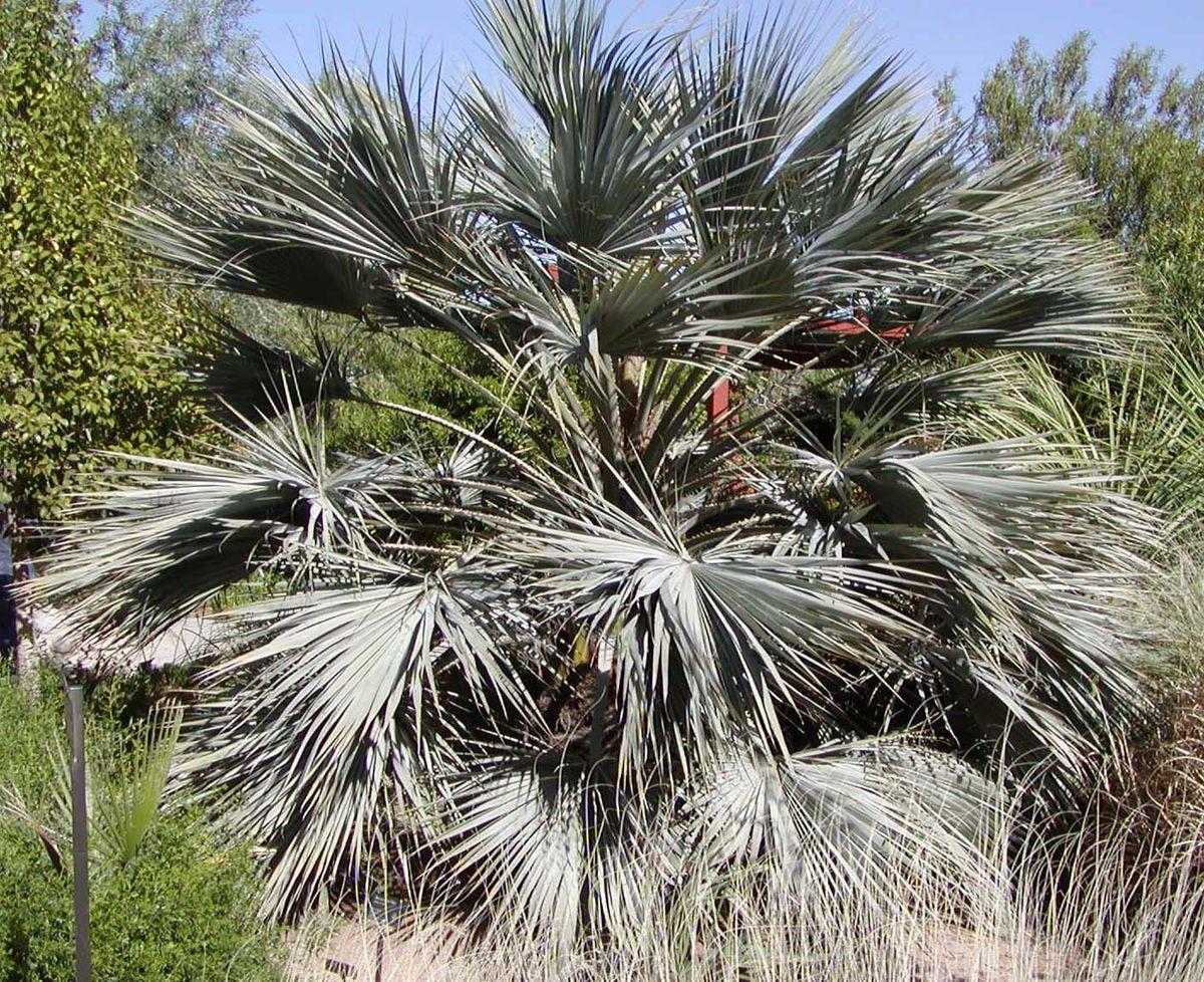 - Brahea armataMexican blue palm
