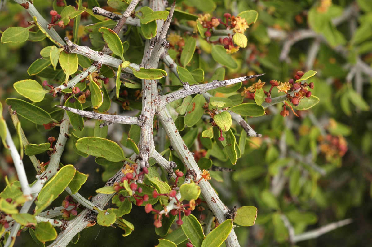 - ziziphus obtusifoliaGraythorn