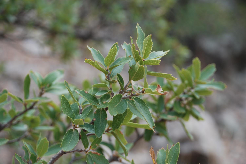- quercus toumeyiToumey Oak