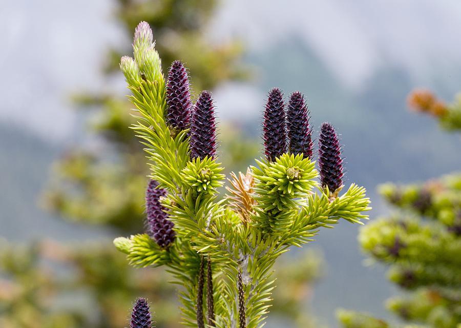 - abies bifloraRocky Mountain Alpine Fir