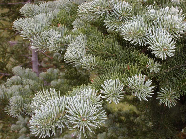 - ABies lasiocarpasubalpine fir