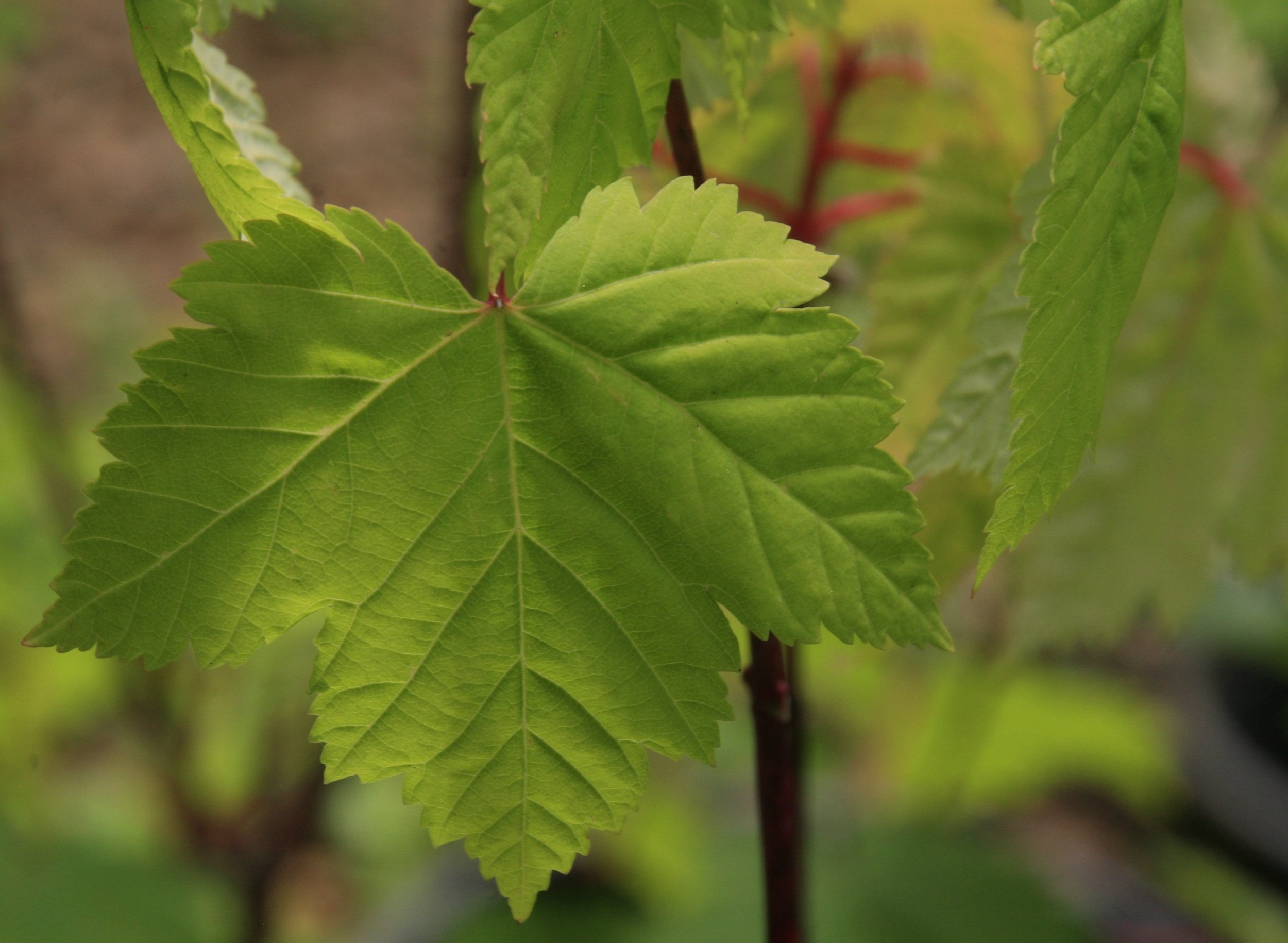 - Acer GlabrumRocky Mountain Maple