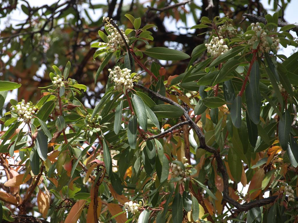 - arbutus arizonicaarizona madrone