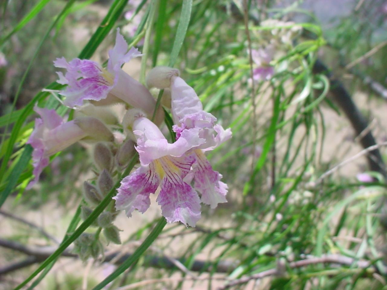 - chilopsis linearisdesert willow