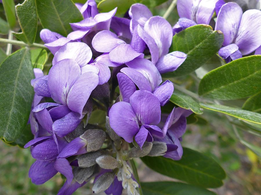- dermatophyllum secundiflorumtexas mountain lauel