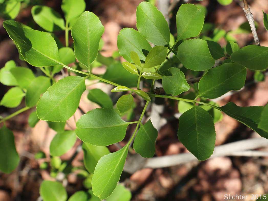 - fraxinus anomalasingle-leaf ash