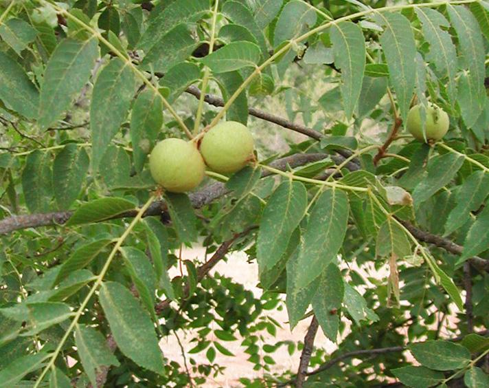- Juglans majorarizona walnut