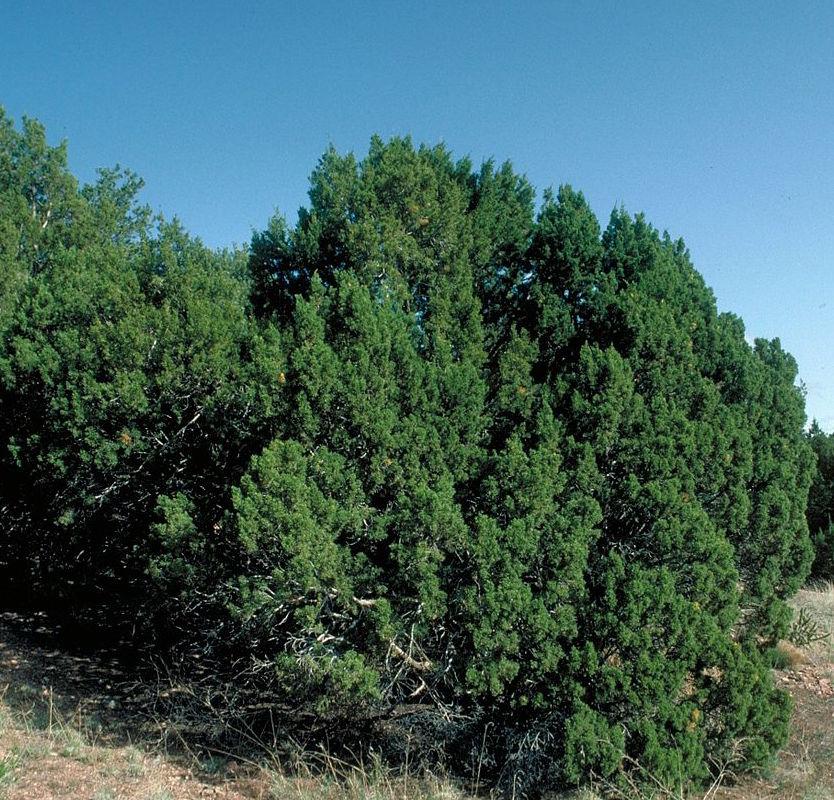 - juniperus monospermaone-seed juniper