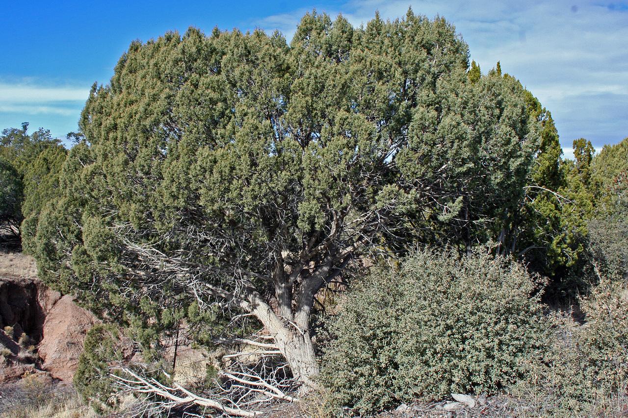 - juniperus osteospermautah juniper
