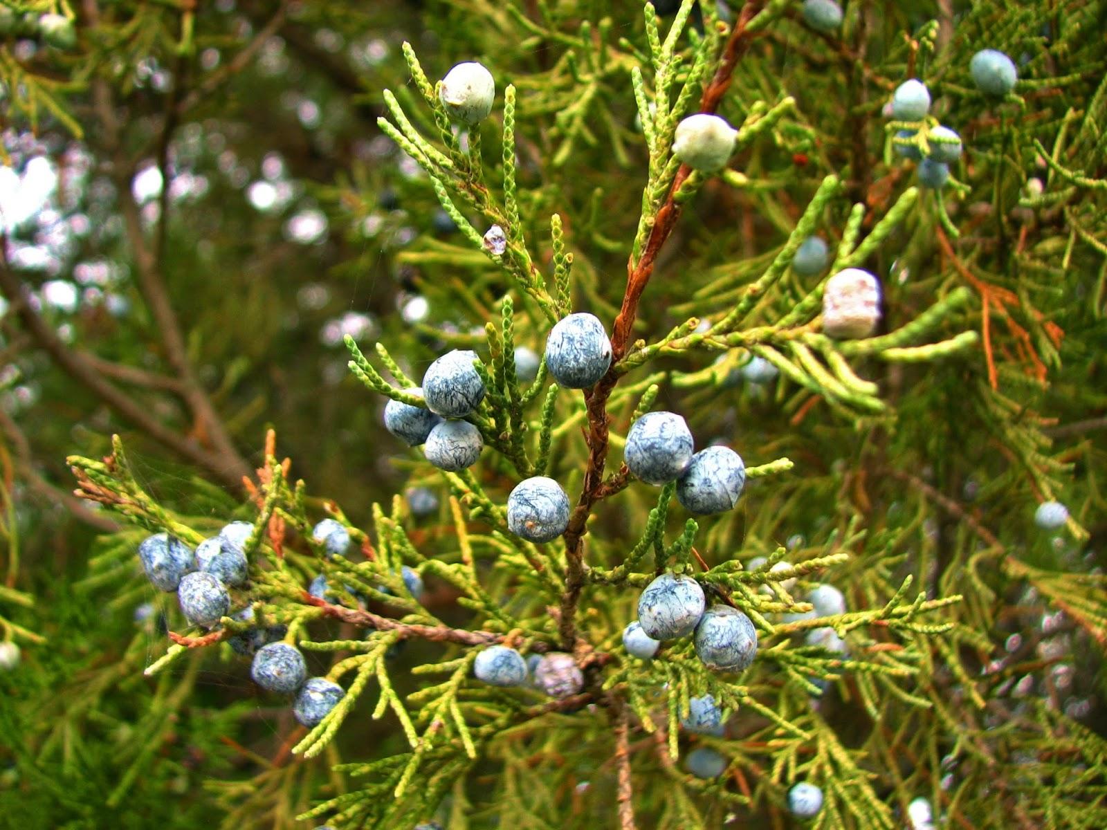 - juniperus scopulorumrocky mountain juniper