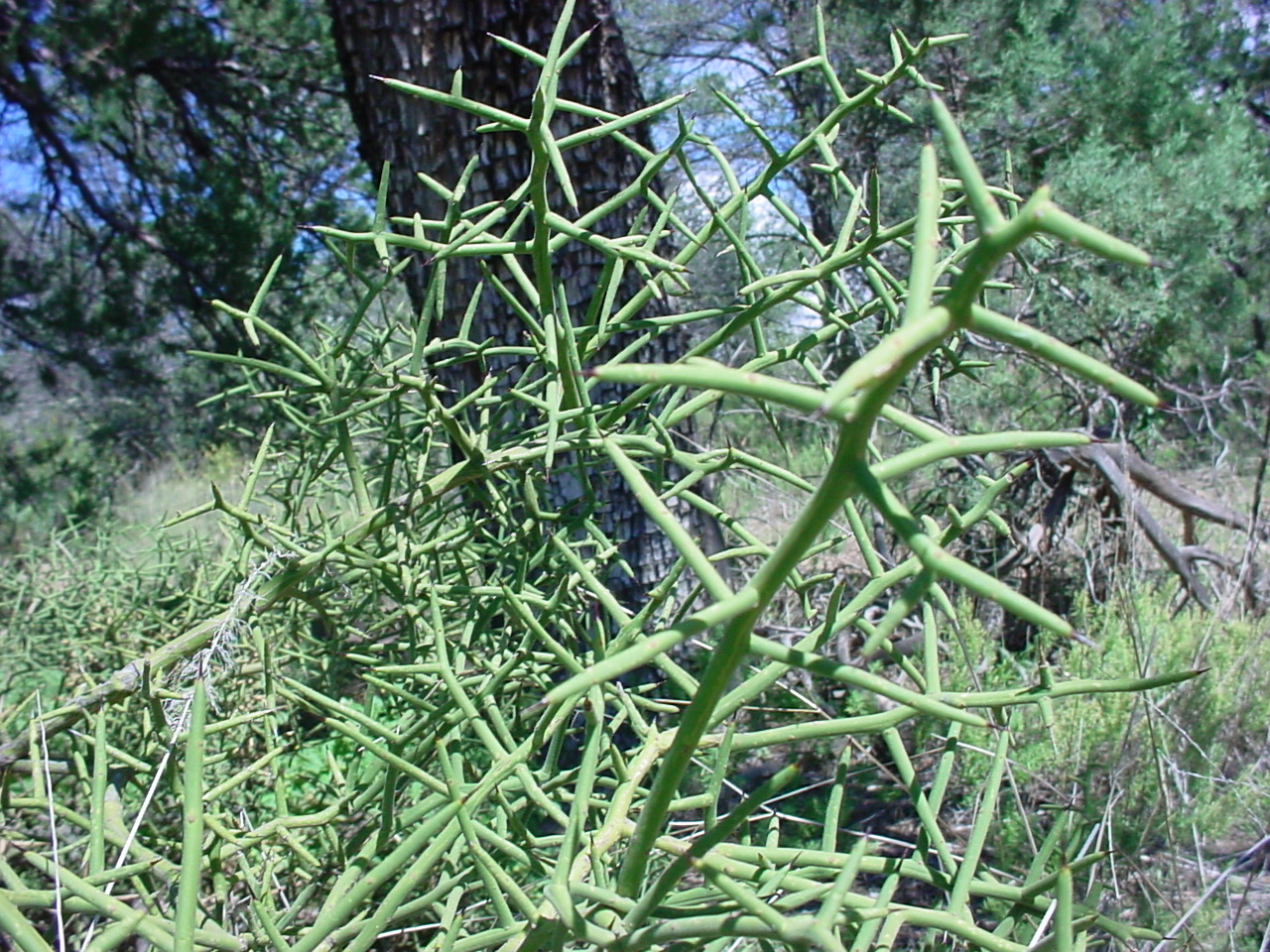 - koeberlinia spinosaallthorn