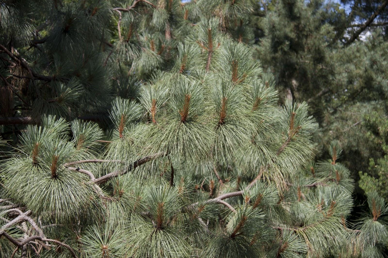 - pinus engelmanniiapache pine